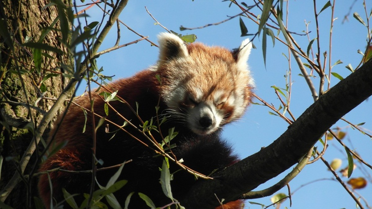 Red Panda at Blackpool Zoo