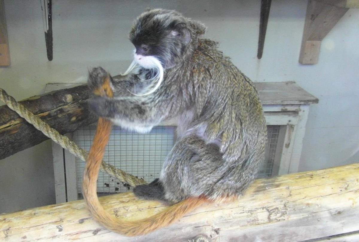 Emperor Tamarin at Blackpool Zoo