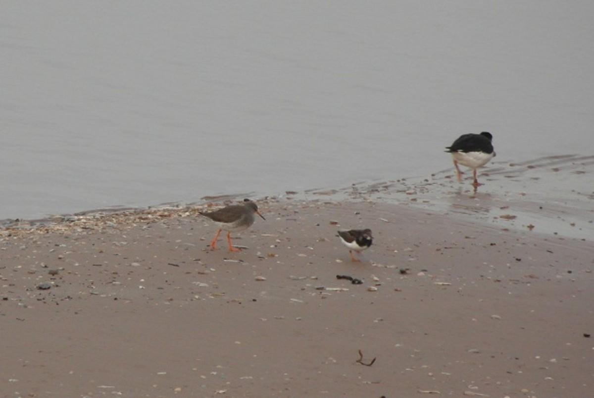 Redshank, turnstone and oystercatcher