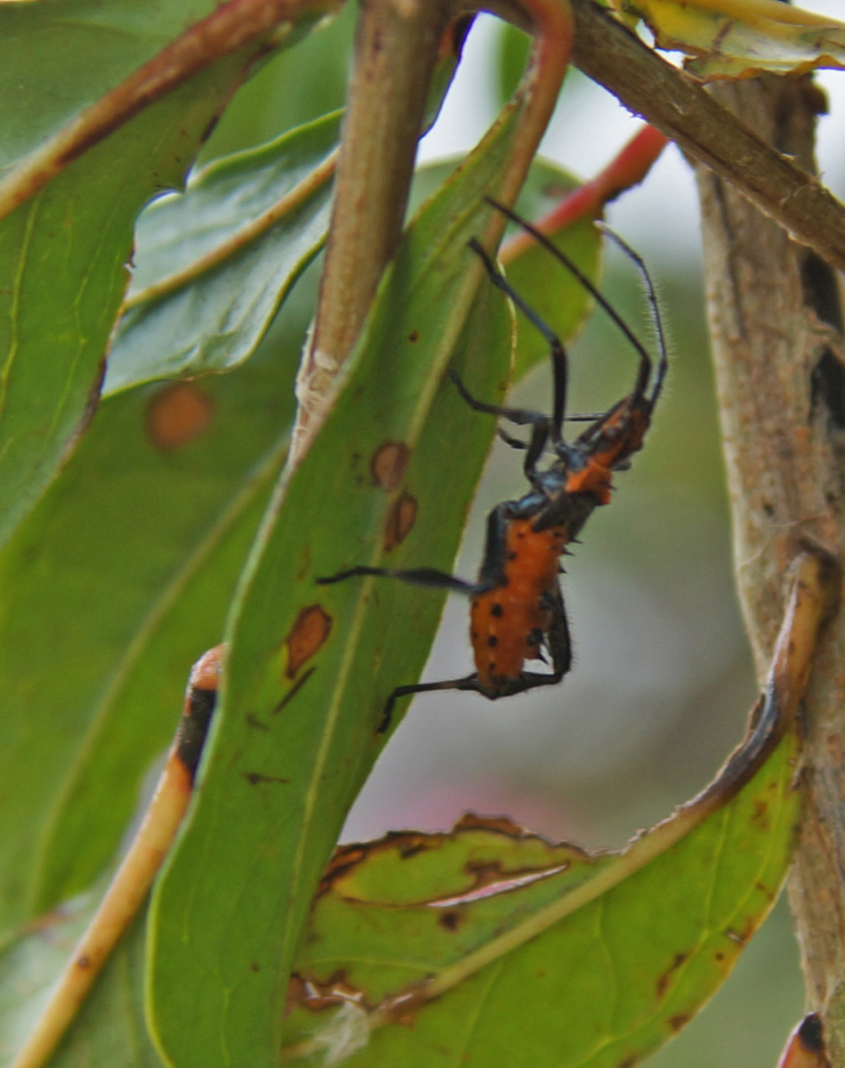 The Assassin Bug larvae on one pomegranite shrub fascinated me for a  while.  They practice organic agriculture, so you can see predator insect species doing their job.