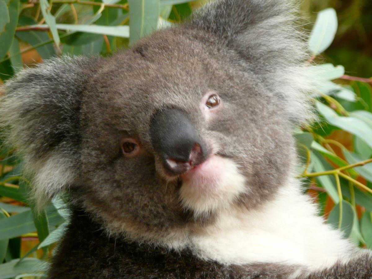 A koala close up.