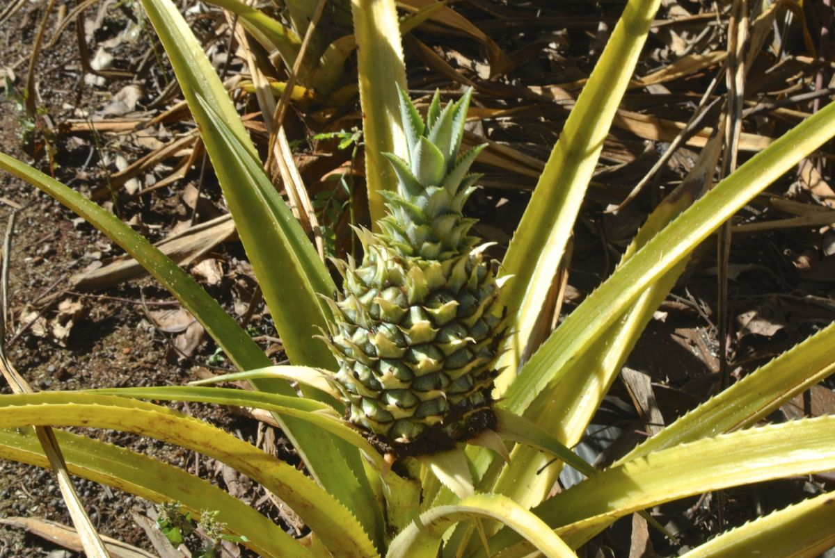 Pineapple growing at the Dole plantation