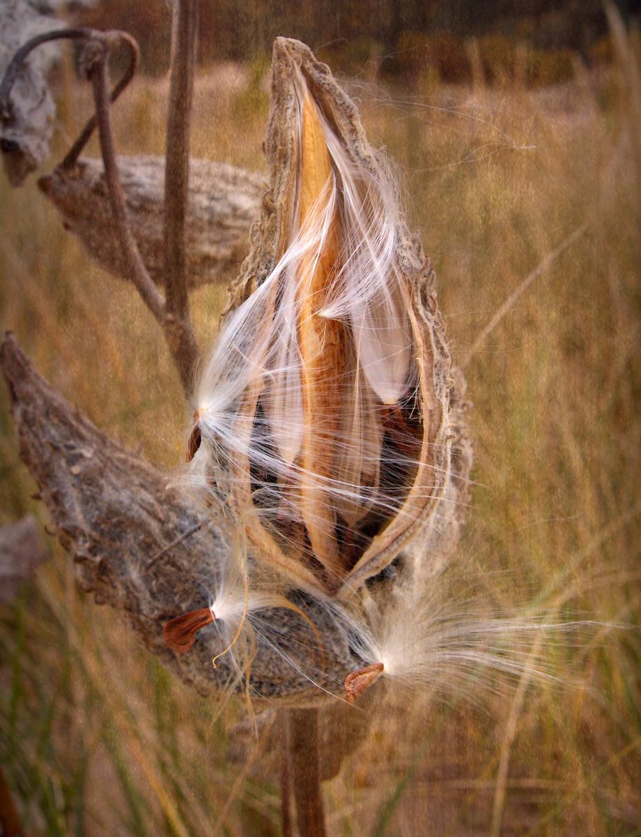Milkweed Opening In Fall