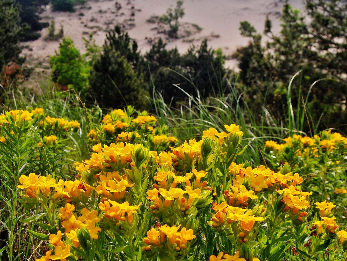 Hoary Puccoon In Bloom