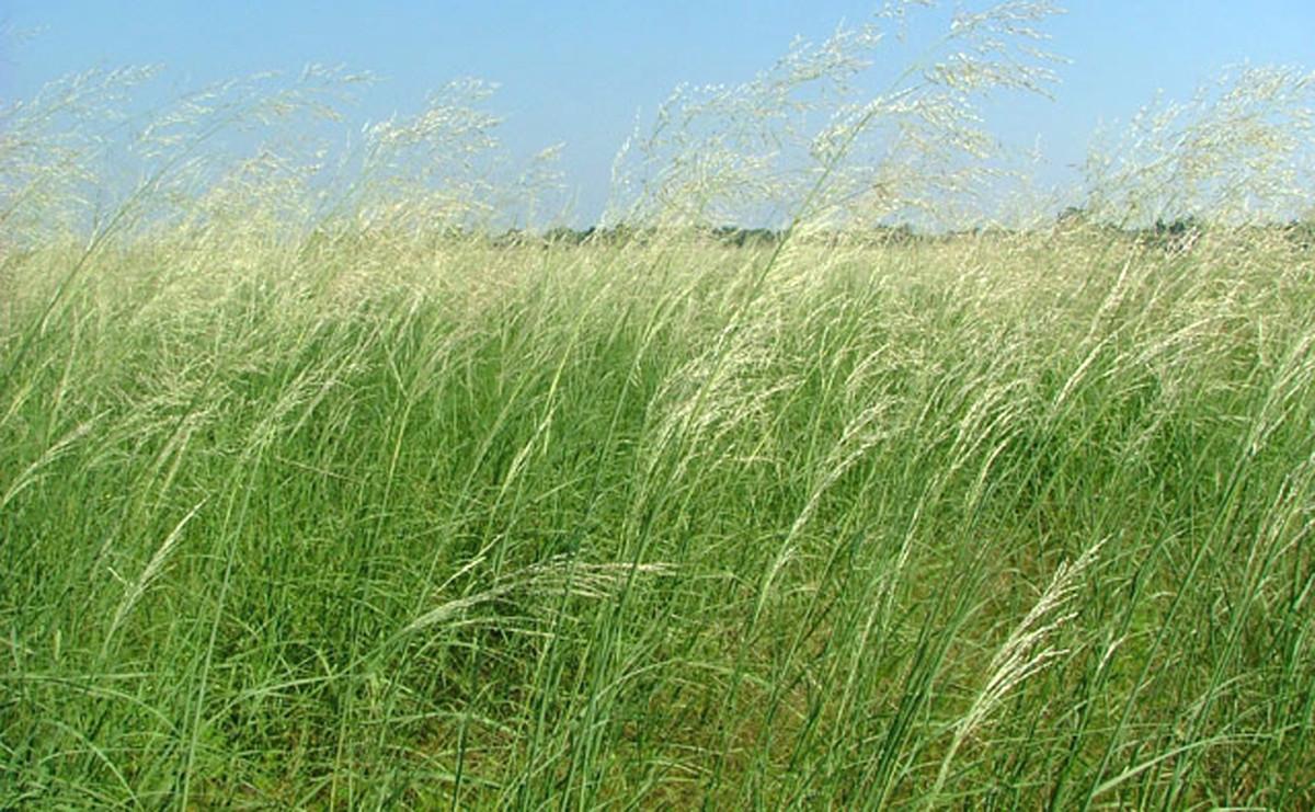 Sand Reed Grass