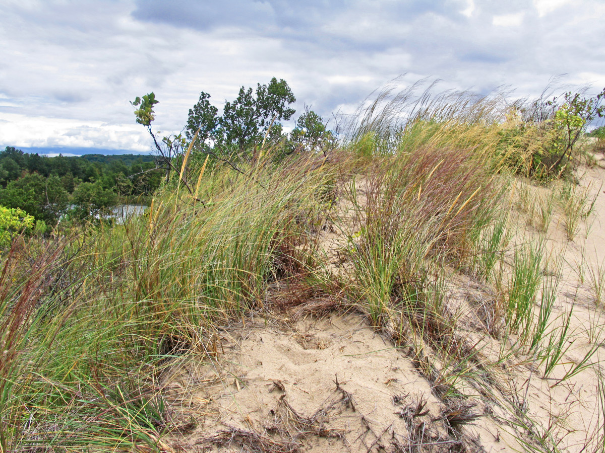 Marram Grass In Fall Colors