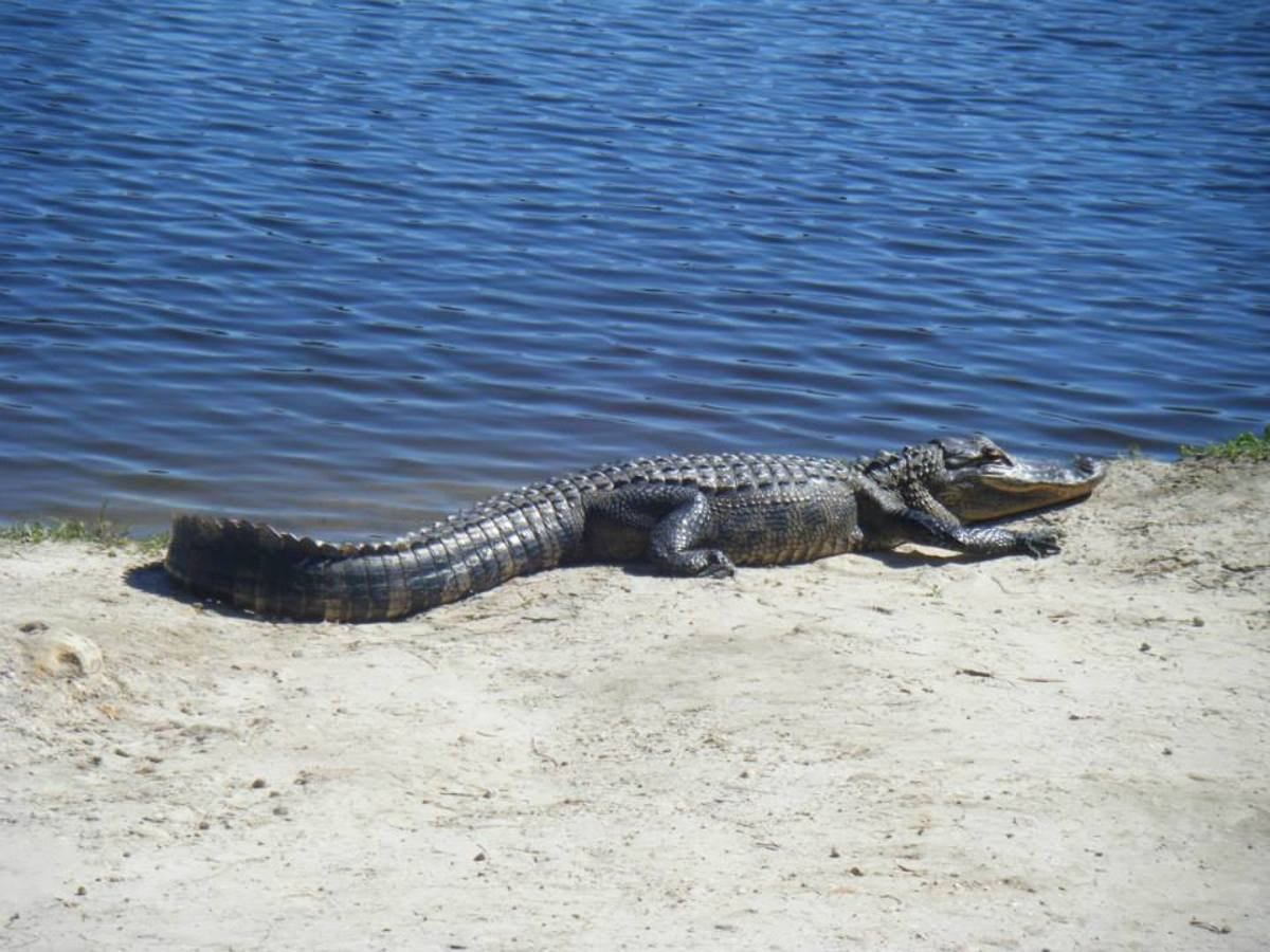 Young alligator at Lake Alice.  Lake Alice is a pleasant place to visit and great for spotting alligators, turtles, birds, and other wildlife, as well as somewhere just to chill out and enjoy the lakeside.  It is free to visit.
