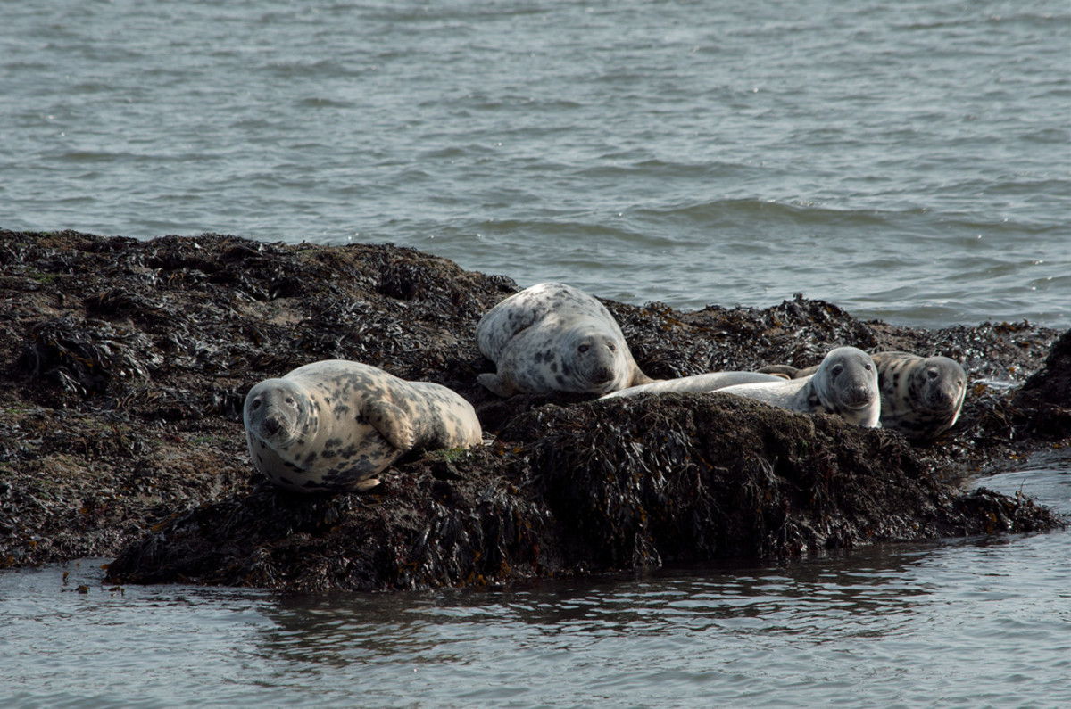 Seals on Inchcolm