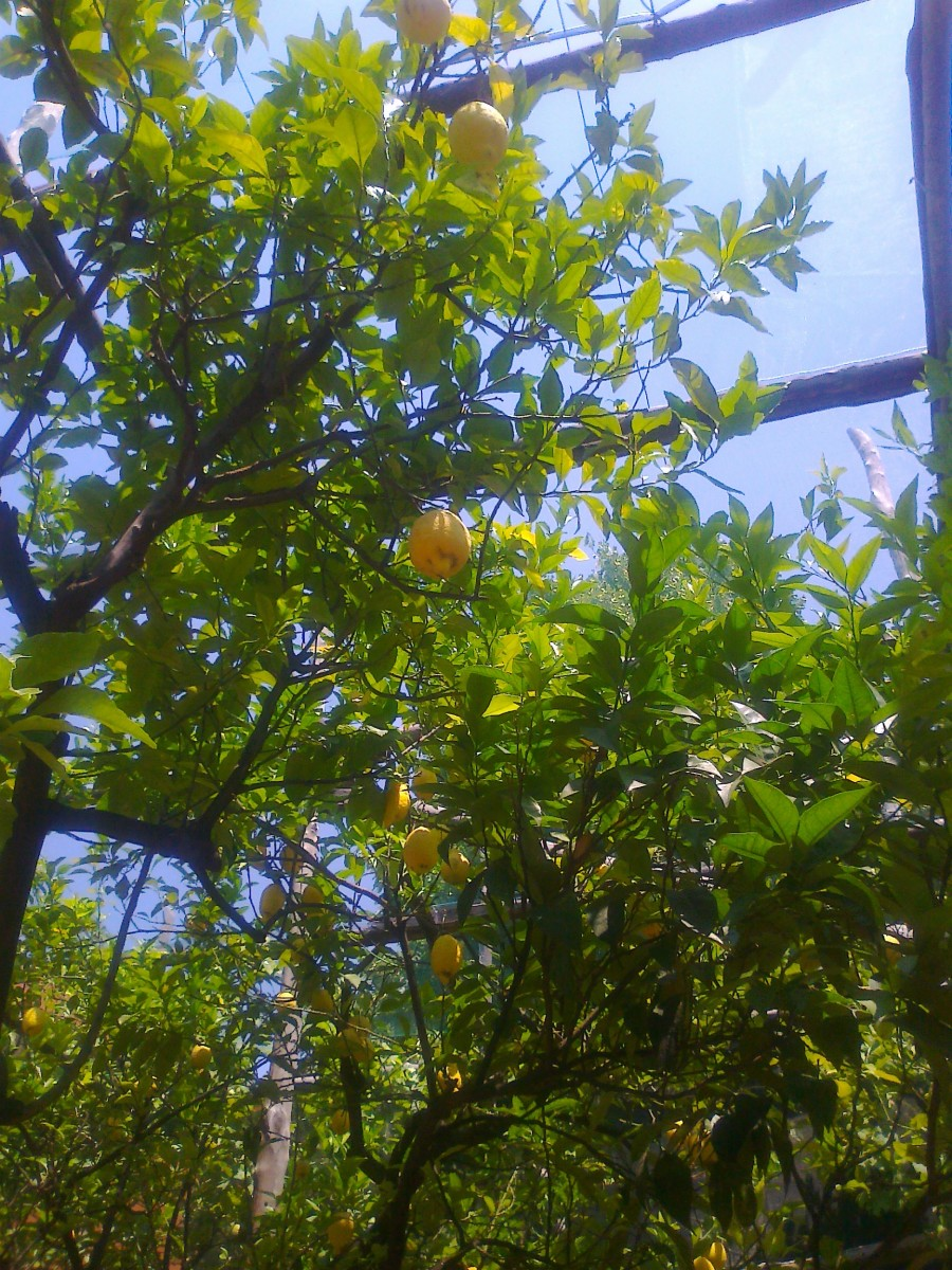 View of the lemons hanging off the trees in the Gardens of Catado