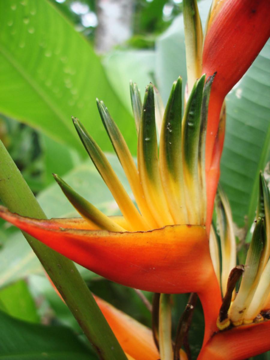 Heliconia wagneriana flower.