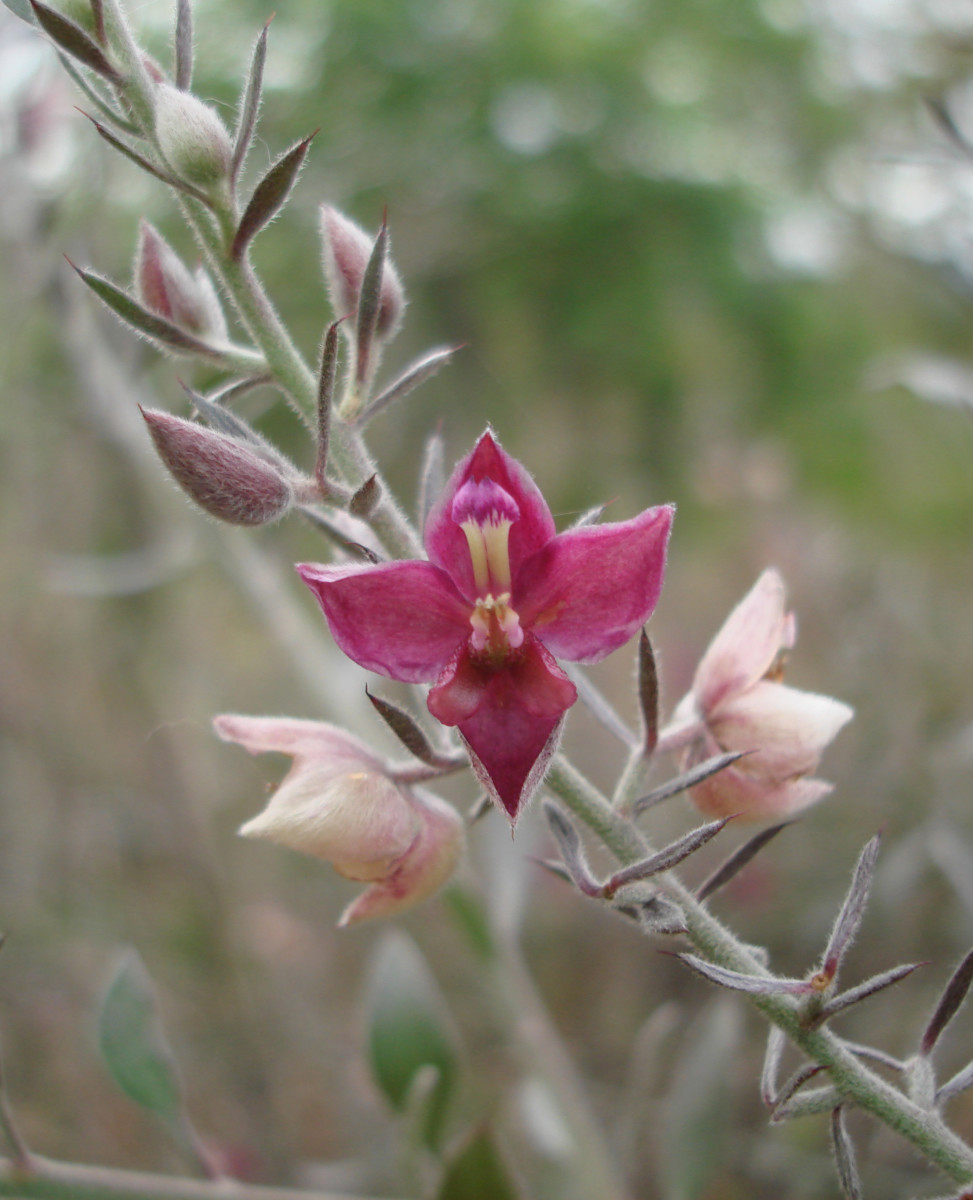 A diminuitive flower of a dryland shrub on the rocky soil near the Rio Colorado near the town called Currubande.  This location is also near the resort Cañon de la Vieja.