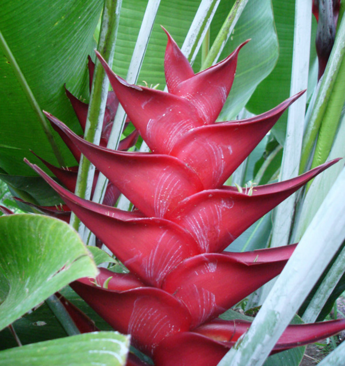 Unknown Heliconia species.