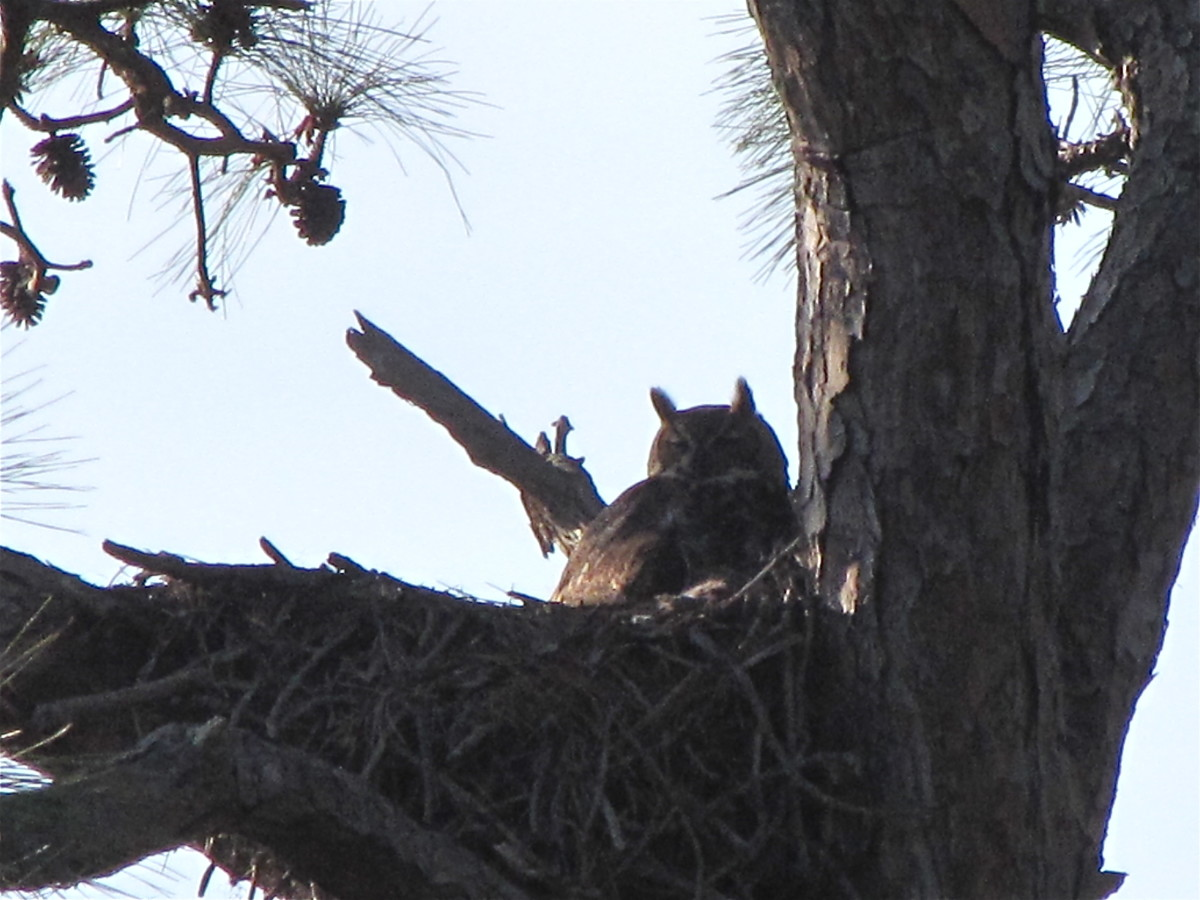 Great Horned Owl in its nest.