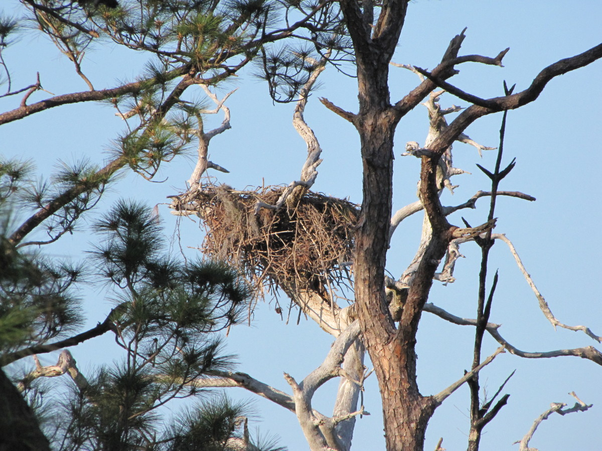 Eagle Nest on Honeymoon Island