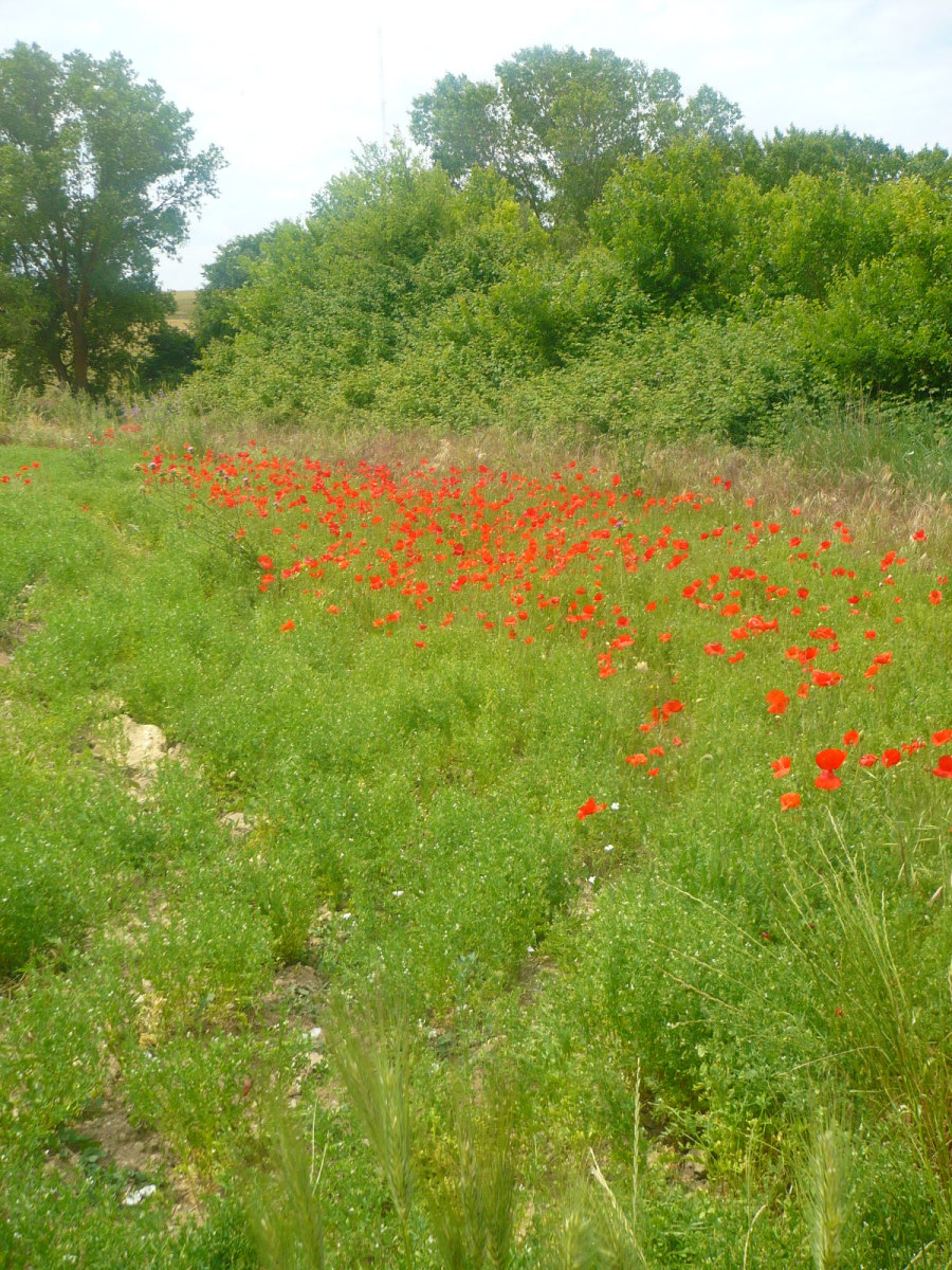 The scenery varies from lush green valleys to stunning golden beaches. These are some poppies.
