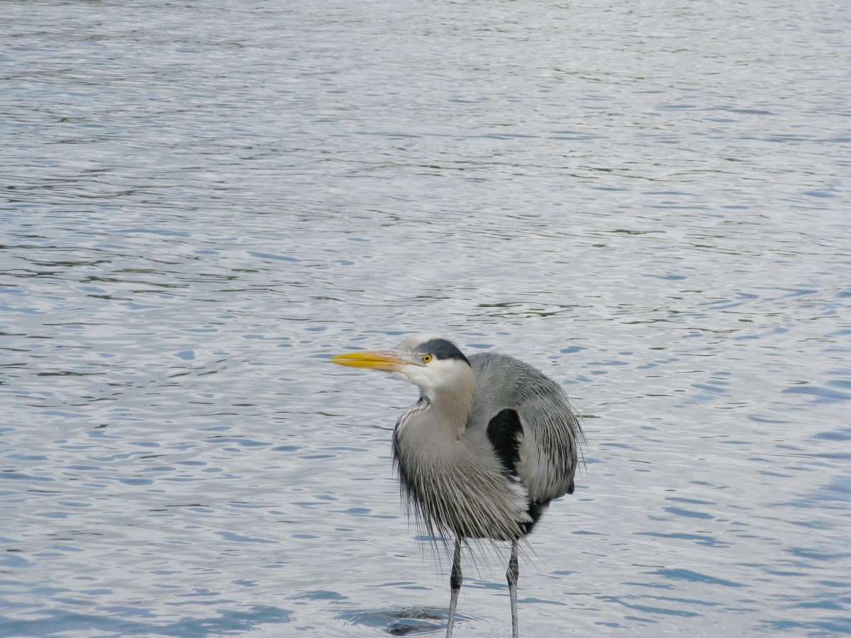 A Stanley Park heron