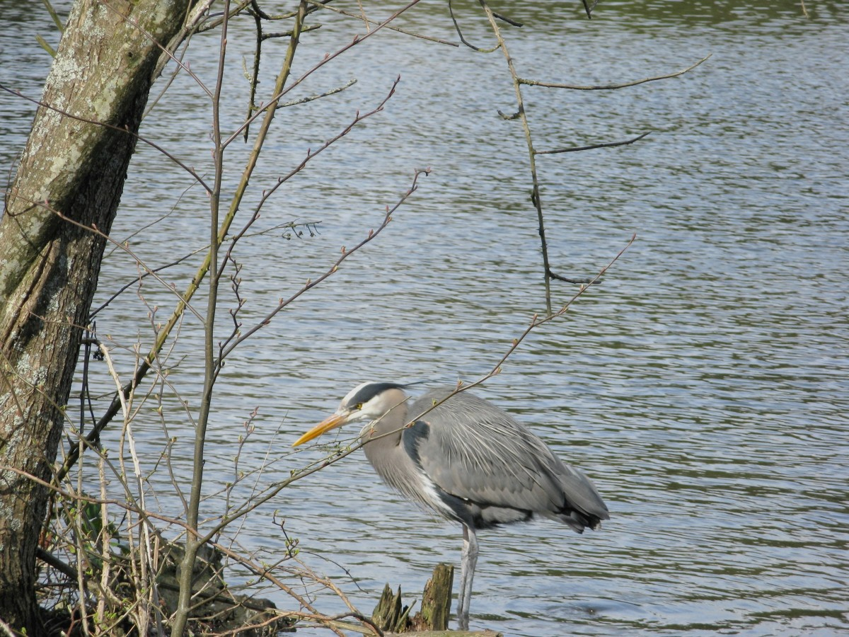 A heron with Lost Lagoon in the background