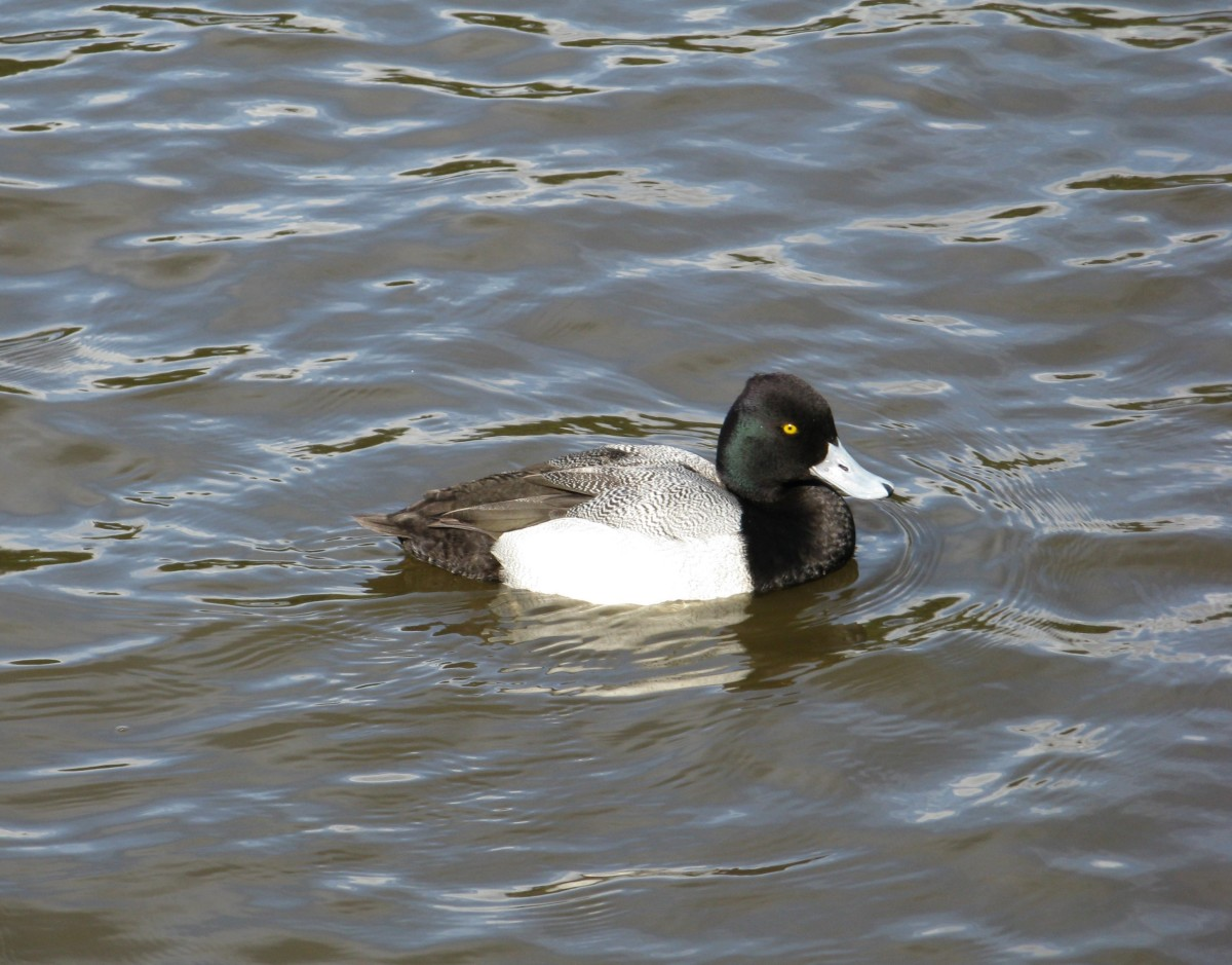 A male scaup