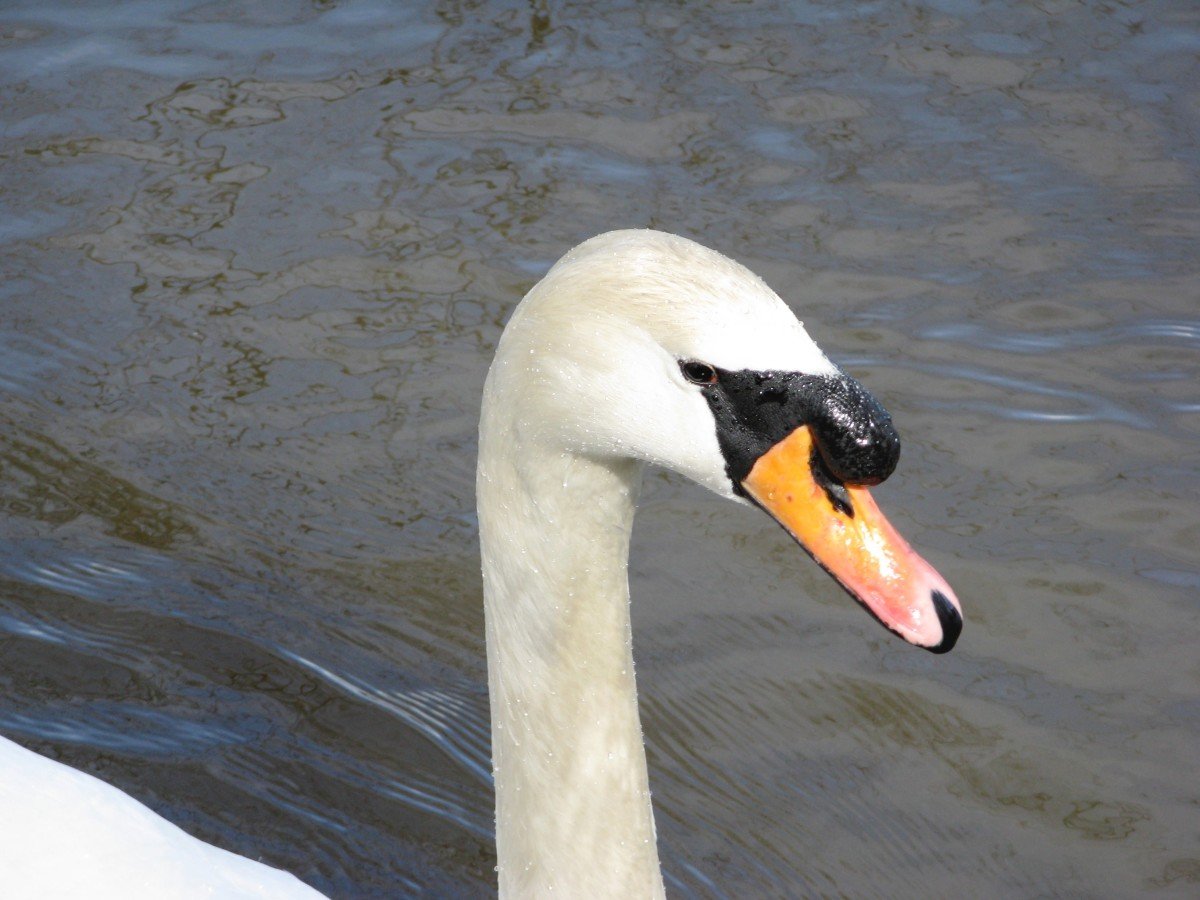 A beautiful mute swan