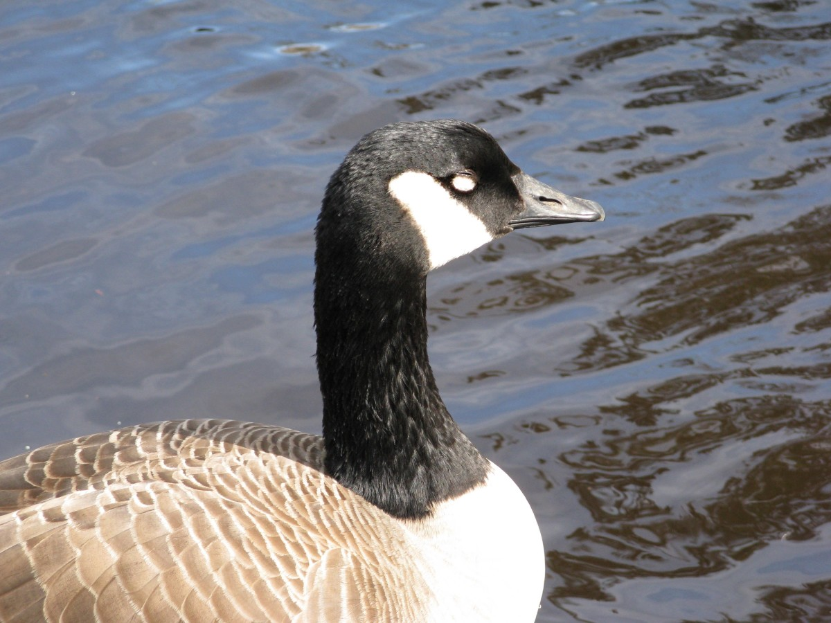 A relaxed goose