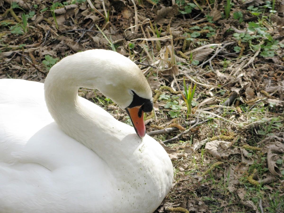 A swan falling asleep