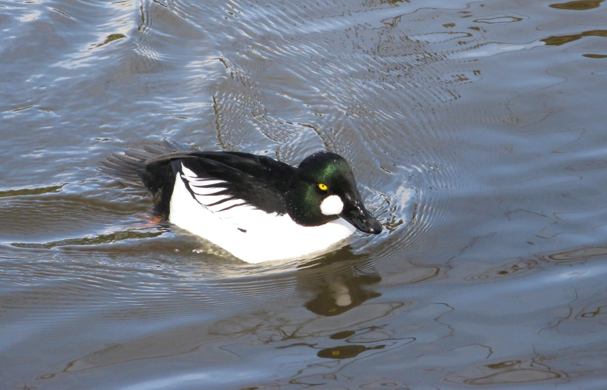 A male common goldeneye