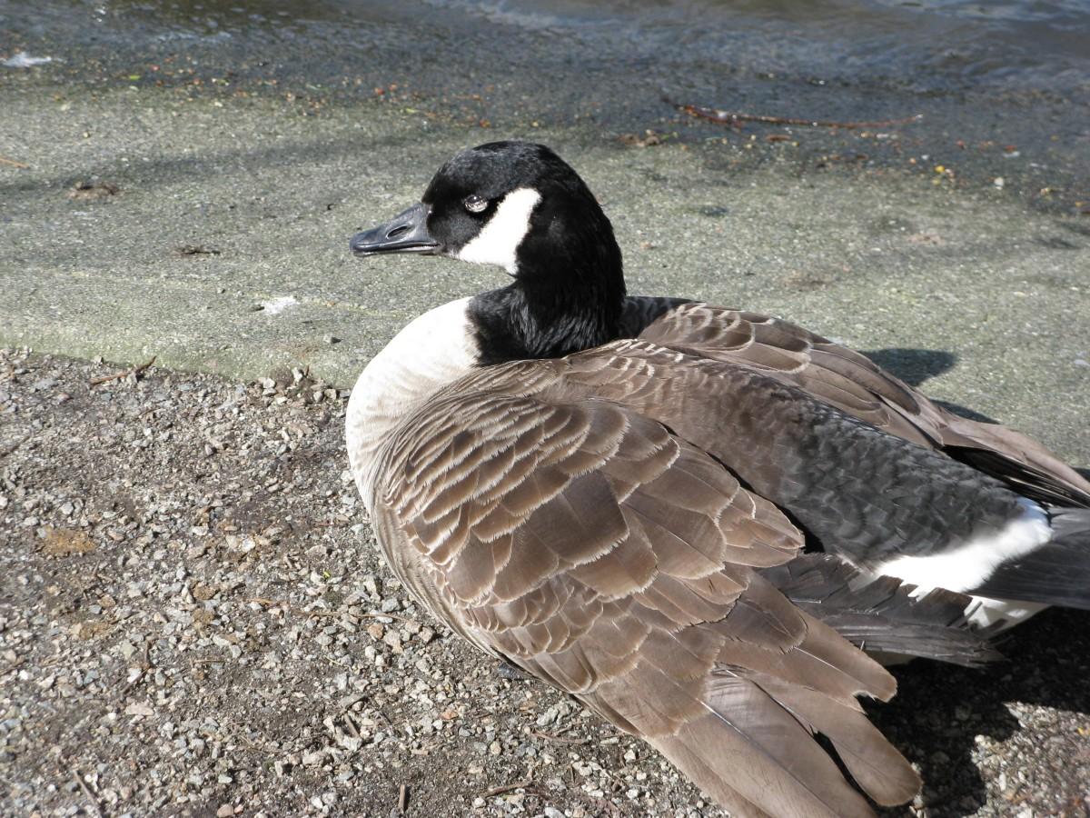 A confident goose