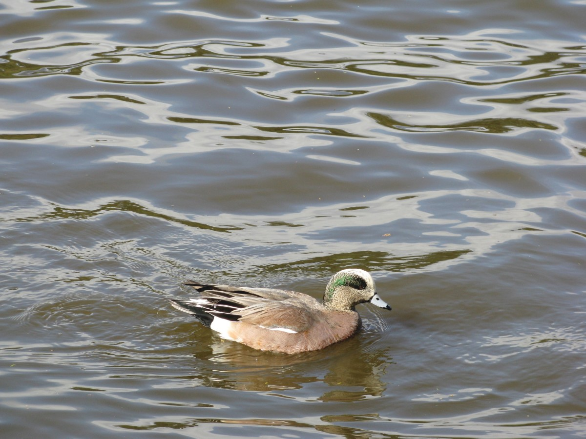 A male American widgeon