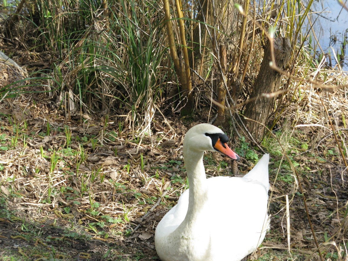 A mute swan relaxing