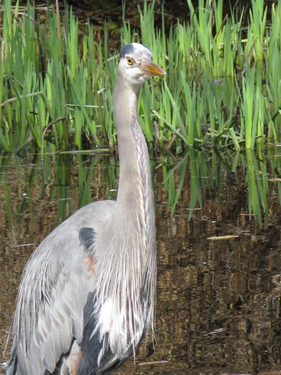 A very confident heron