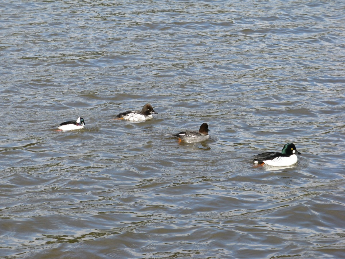 A group of ducks; the little guy at the back is a male bufflehead