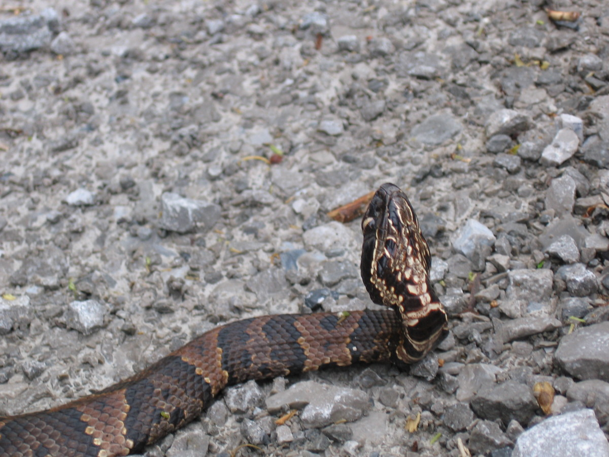 Water moccasin on the road.