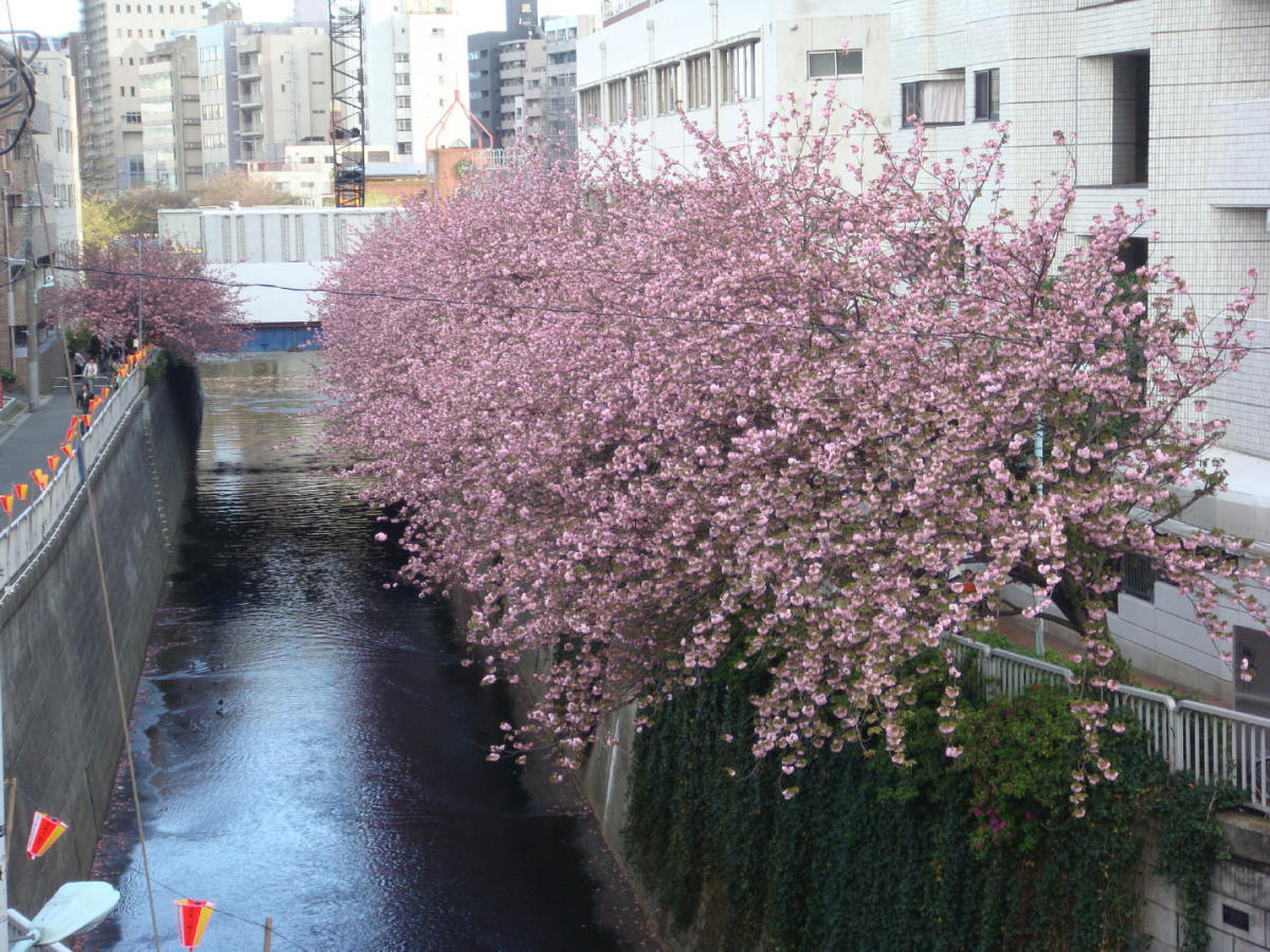 Meguro river, which looks like a canal, does it not? April 7th when the right side of the river from the metro station was overflowing with cherry trees in flower