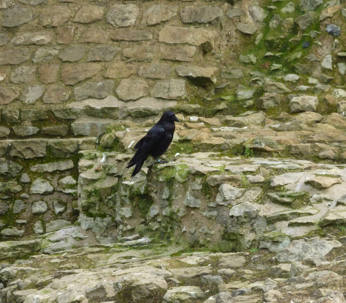 Ravens at the tower are a tradition