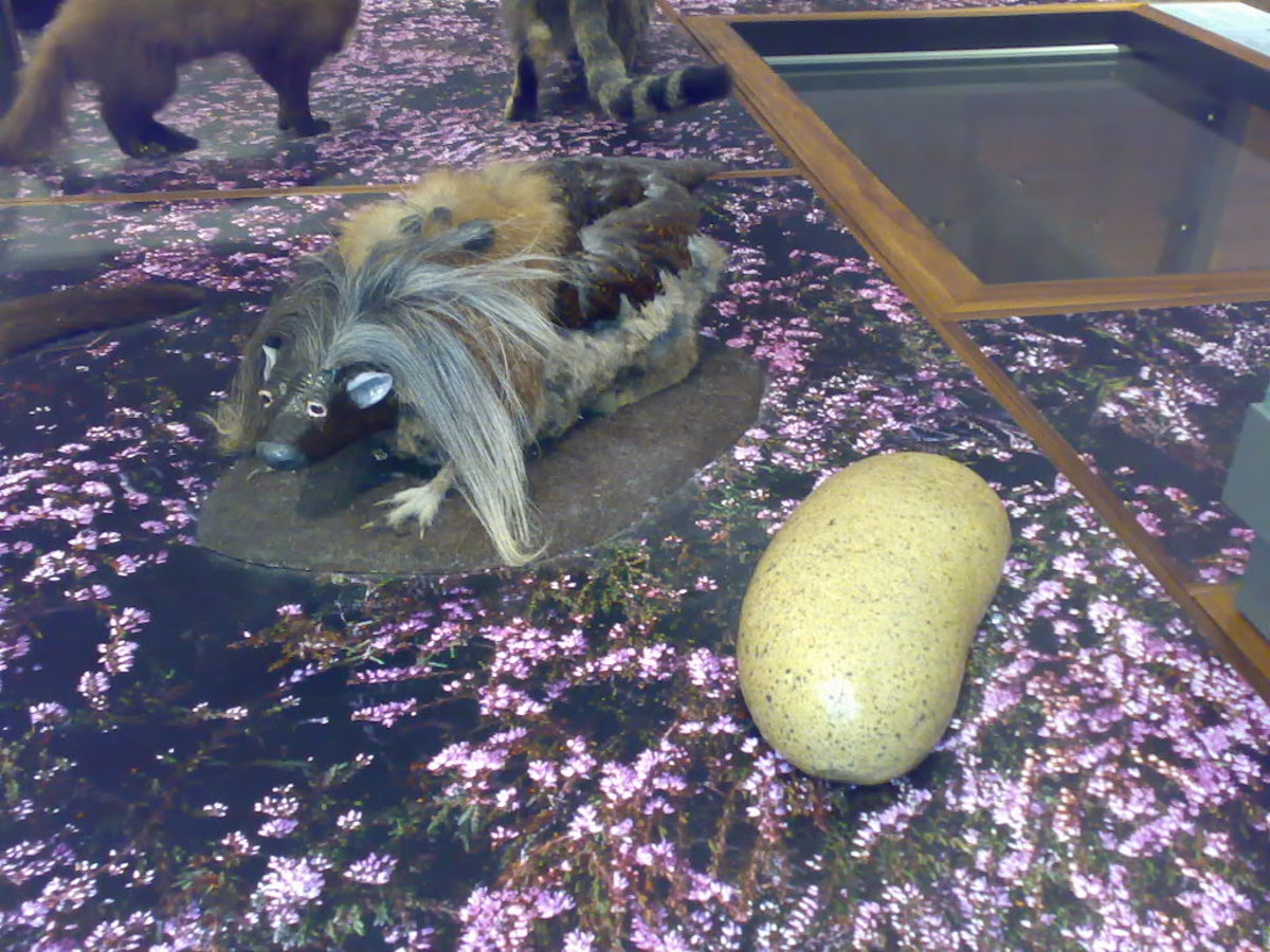 A Haggis on display in the Kelvingrove Museum in  Glasgow