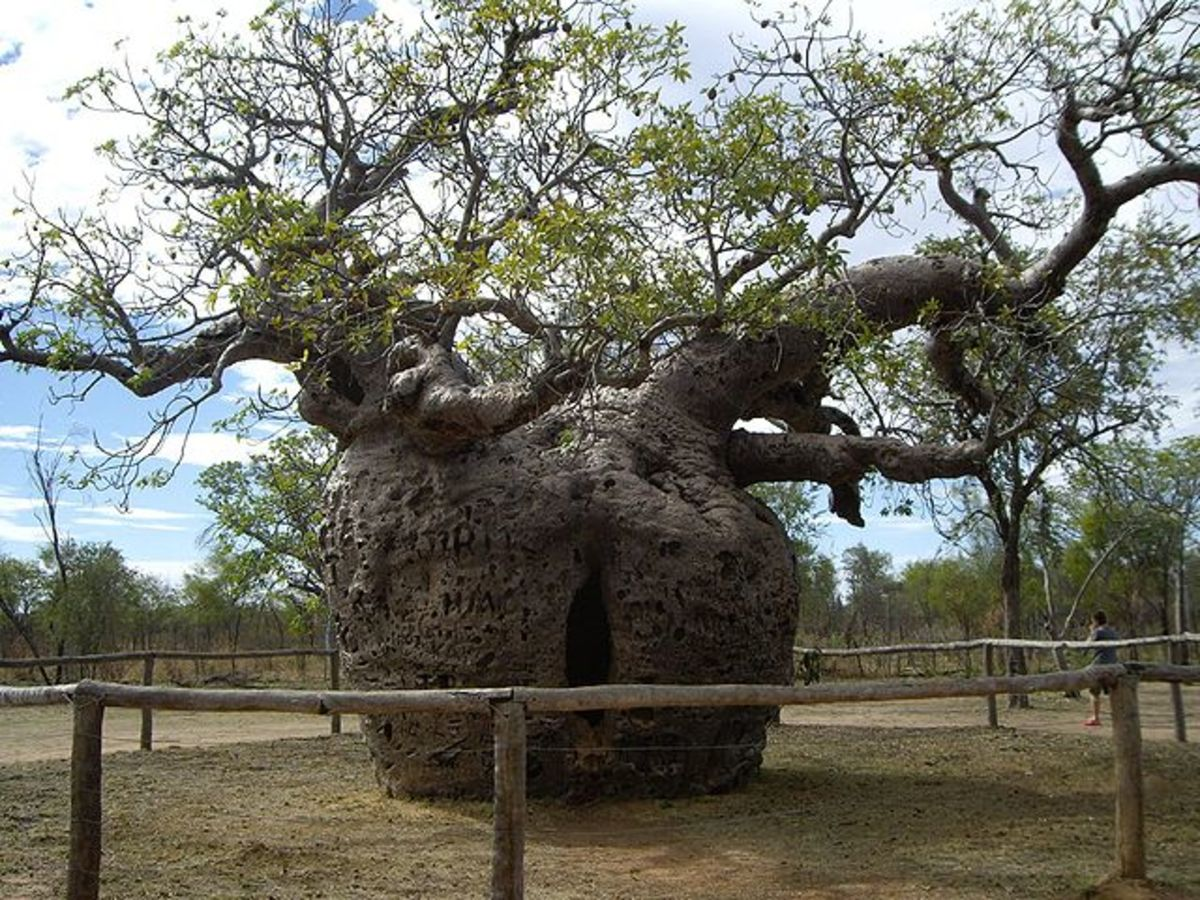 Boab Prison Tree in Derby