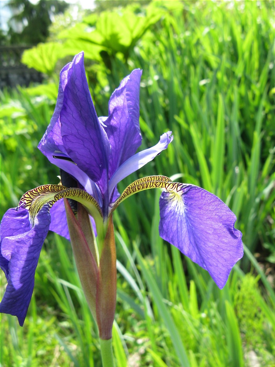 A blue flag iris flower