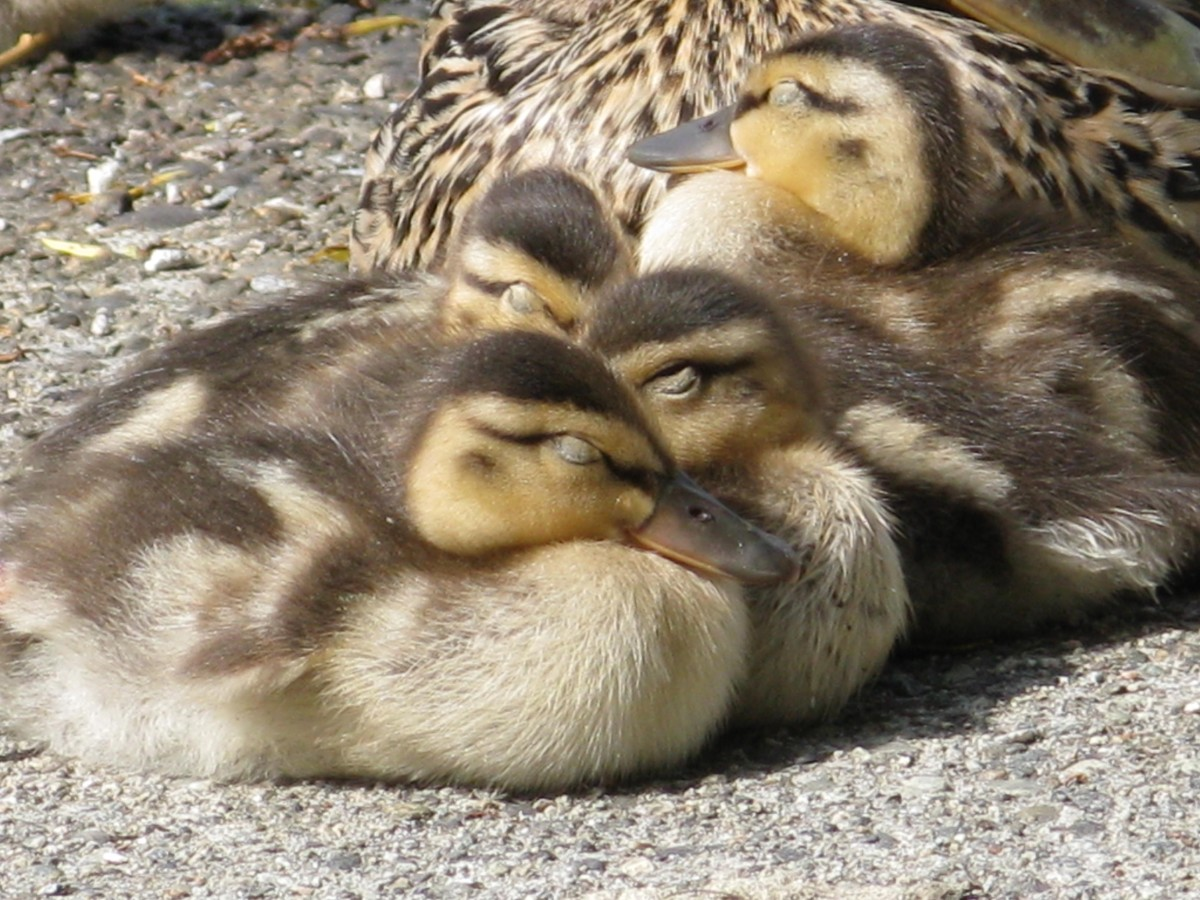 Sleepy ducklings