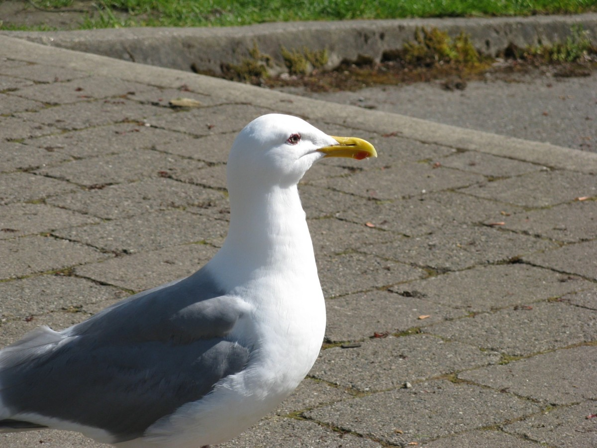 A glaucous-winged gull