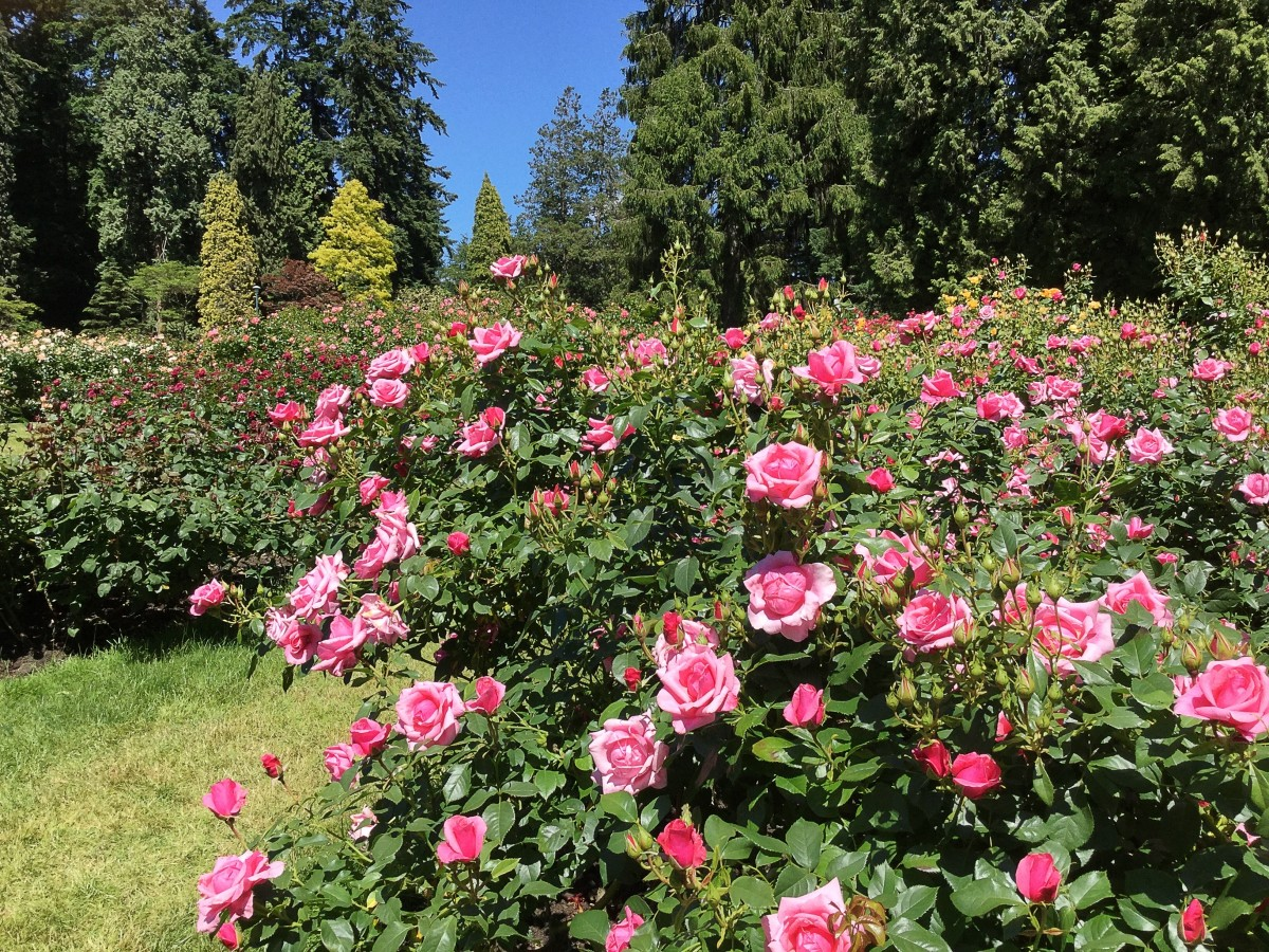 A scene in the rose garden