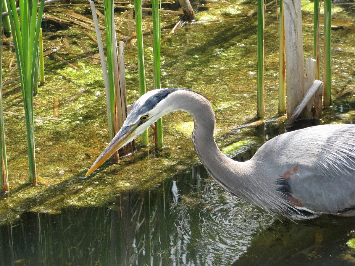 This heron has found a good source of fish.