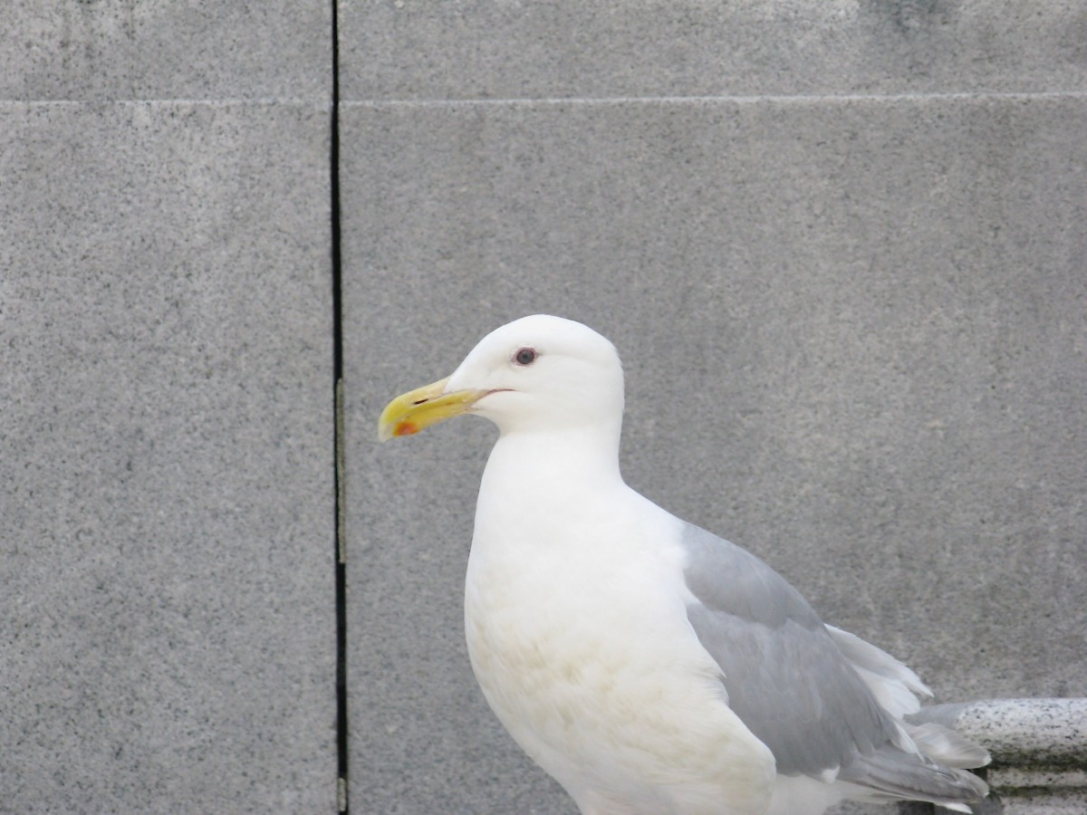 This gull knows that people eat on the steps of the gallery and is looking for tidbits.