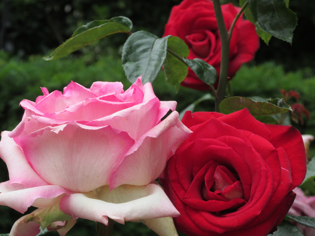 The gardens of Notre Dame are adorned with  roses and other flora.