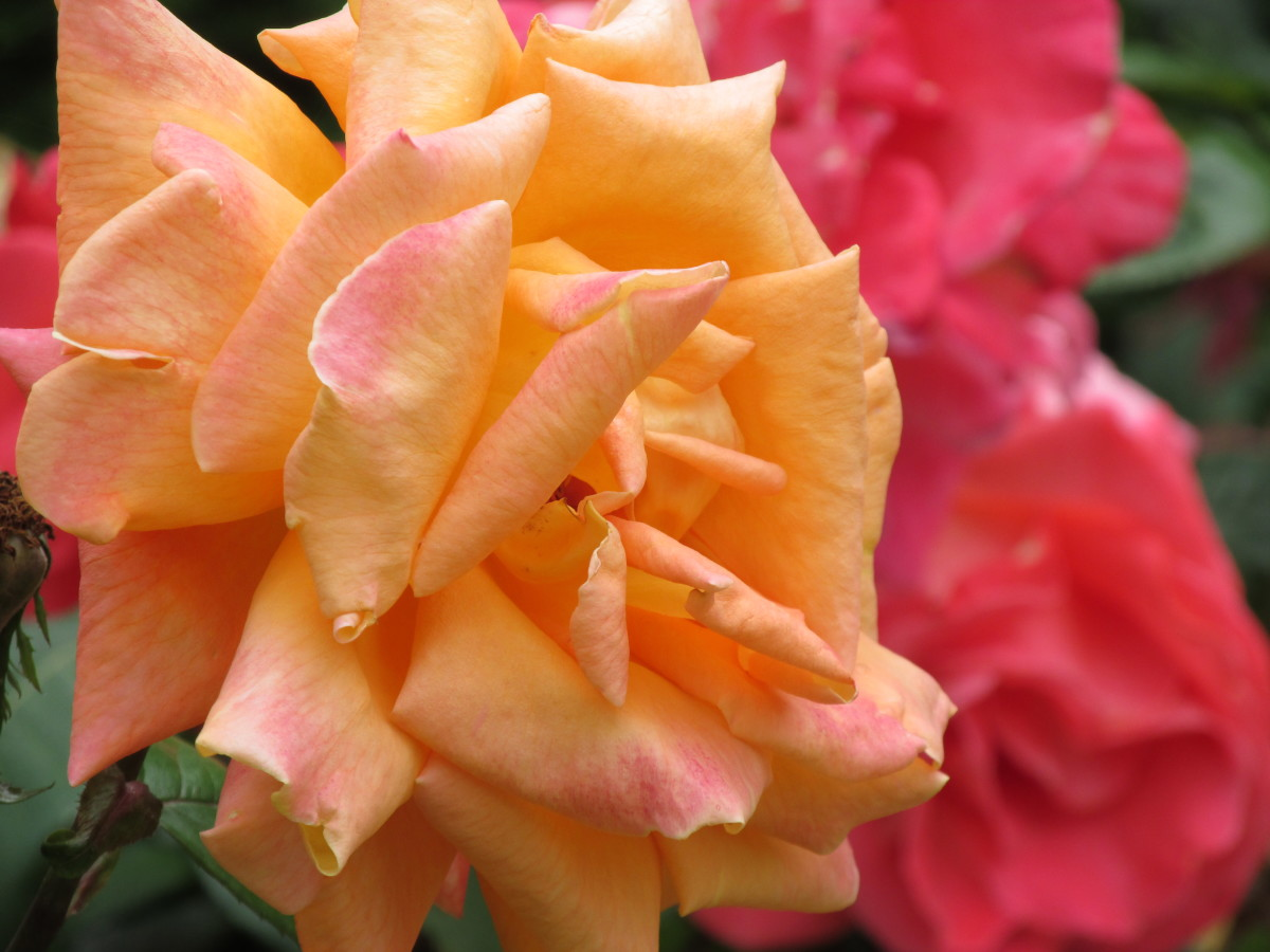 Yellow roses signify friendship, and pink roses mean admiration.