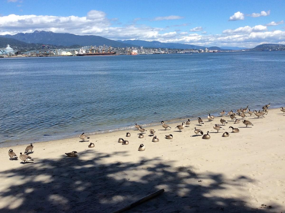 Canada geese at Third Beach