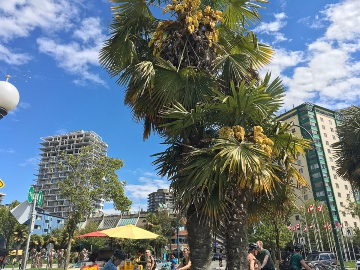 English Bay Beach is known for the palm trees growing beside the path.