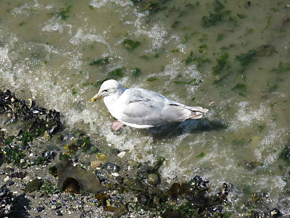 An immature gull