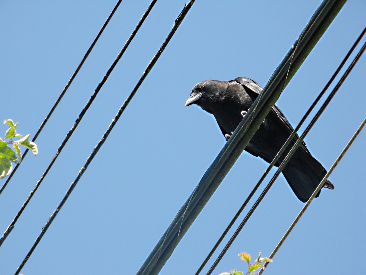 A Northwestern crow beside the urban trail