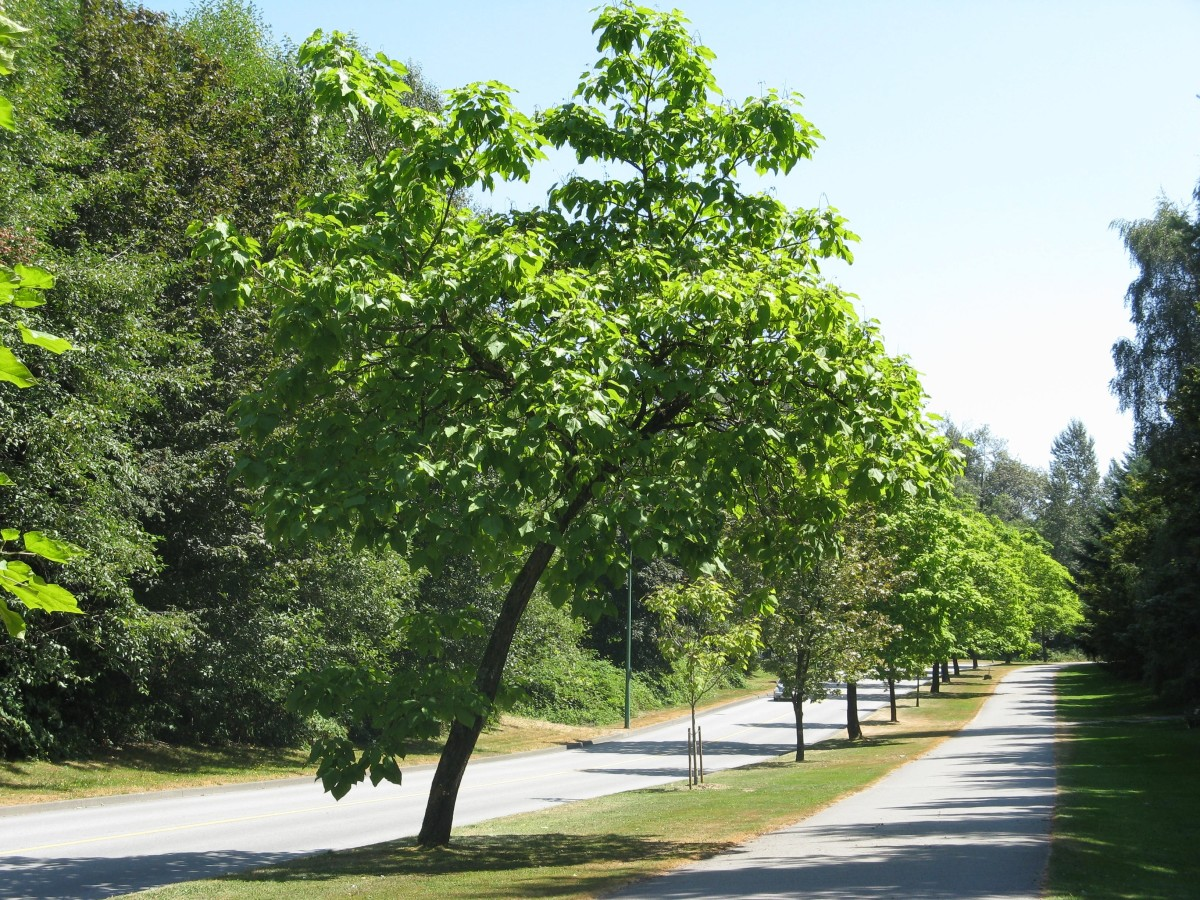 Trees bordering the urban trail; the trail is on the right of the trees and a road is on the left