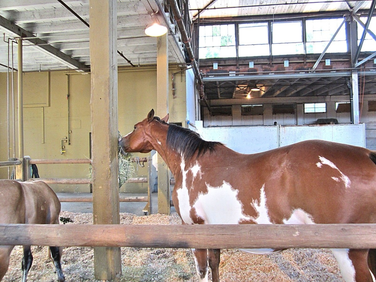 An American Quarter Horse